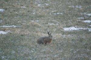 Hare på engen
